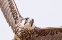 dyc-medium-International-Centre-for-Birds-of-Prey-2
